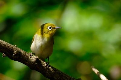 soku_20143.jpg :: 動物 鳥 野山の鳥 メジロ