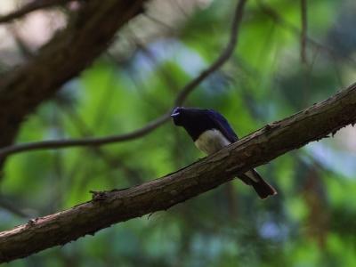 soku_20299.jpg :: 動物 鳥 野山の鳥 オオルリ