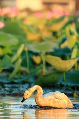 soku_20325.jpg :: 動物 鳥 白鳥 ハクチョウ 自然 水分 植物 花 蓮 ハス by Niigata