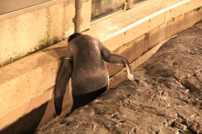 soku_20353.jpg :: 動物 旭山動物園 ペンギン 爆睡