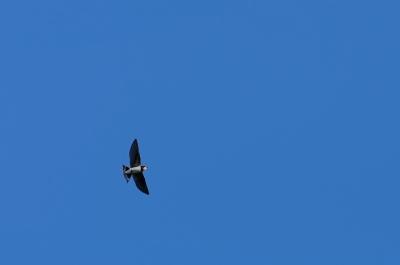 soku_20455.jpg :: 動物 鳥 燕 ツバメ