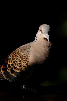 soku_20462.jpg :: 動物 鳥 鳩 ハト キジバト