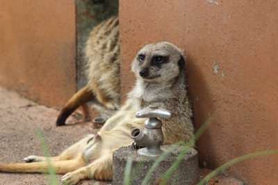 soku_20495.jpg :: 動物 哺乳類 ミーアキャット 動物園 アニマル 賢者モード 勃起