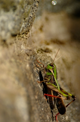 soku_20675.jpg :: 動物 虫 昆虫 バッタ
