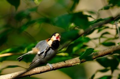 soku_20727.jpg :: 動物 鳥 野山の鳥 ヤマガラ