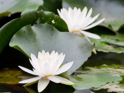 soku_20932.jpg :: 植物 花 睡蓮