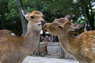 soku_20994.jpg :: 動物 哺乳類 鹿 シカ 子鹿 バンビ