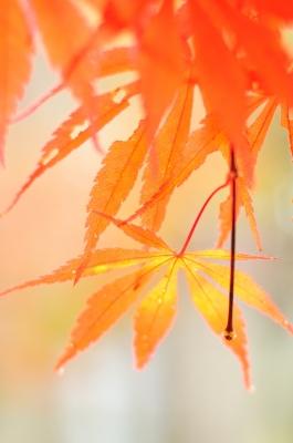 soku_21083.jpg :: 風景 自然 紅葉 赤い紅葉