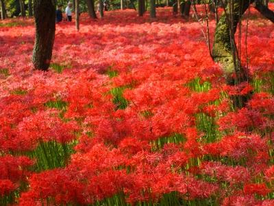 soku_21128.jpg :: 植物 花 花畑 彼岸花 ヒガンバナ