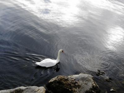 soku_21138.jpg :: PowerShotS95 風景 自然 水分 コンデジ埼玉 lock 湖 山中湖 動物 鳥 白鳥 ハクチョウ コブハクチョウ