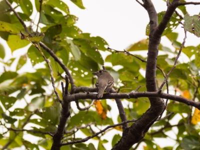 soku_21177.jpg :: 動物 鳥 野山の鳥 コサメビタキ 渡り