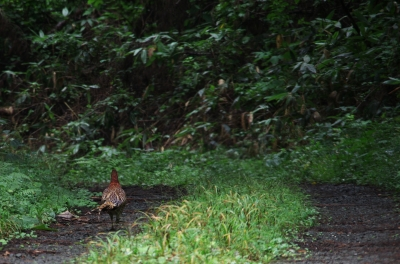 soku_21180.jpg :: 雉 野鳥 動物 鳥 野山の鳥 キジ