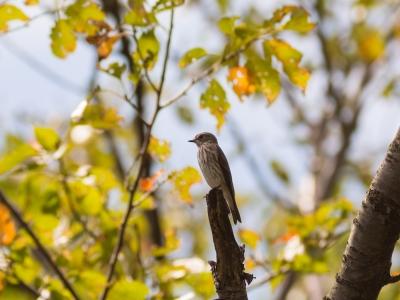 soku_21190.jpg :: 動物 鳥 野山の鳥 エゾビタキ