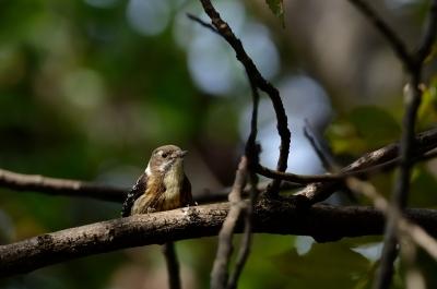 soku_21196.jpg :: 動物 鳥 野山の鳥 コゲラ