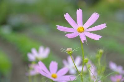 soku_21199.jpg :: 花 植物 花 秋桜 コスモス