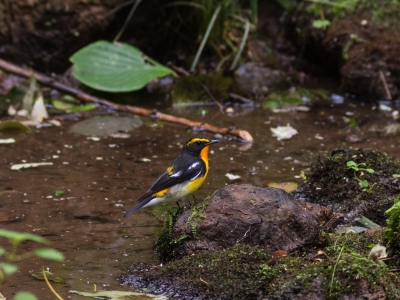 soku_21240.jpg :: 動物 鳥 野山の鳥 キビタキ 渡り