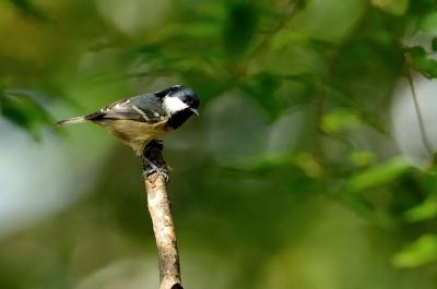 soku_21271.jpg :: 動物 鳥 野山の鳥 ヒガラ