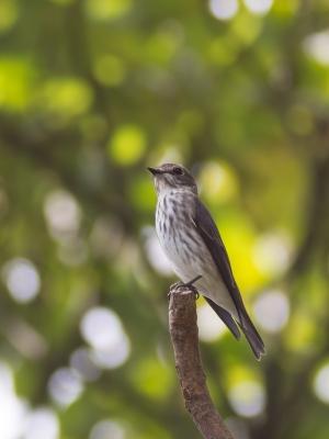 soku_21277.jpg :: 動物 鳥 野山の鳥 エゾビタキ 渡り