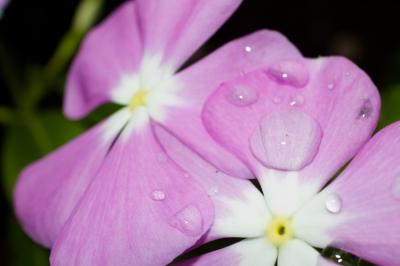 soku_21297.jpg :: 水分 植物 花 ピンクの花