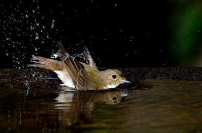 soku_21364.jpg :: 動物 鳥 野山の鳥 キビタキ 水浴び