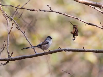 soku_21394.jpg :: 動物 鳥 野山の鳥 エナガ