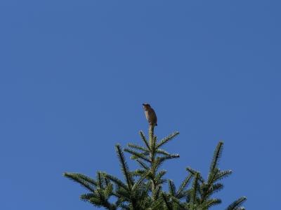 soku_21421.jpg :: 動物 鳥 野山の鳥 モズ