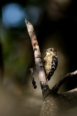soku_21439.jpg :: 動物 鳥 野山の鳥 コゲラ
