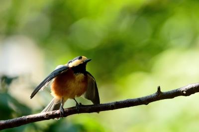 soku_21441.jpg :: 動物 鳥 野山の鳥 ヤマガラ