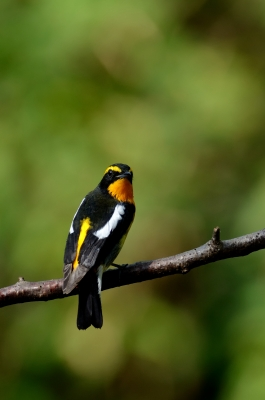 soku_21444.jpg :: 動物 鳥 野山の鳥 キビタキ