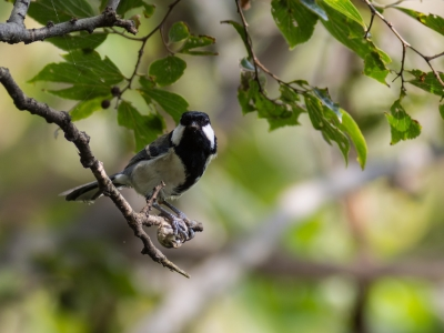 soku_21445.jpg :: 動物 鳥 野山の鳥 シジュウカラ