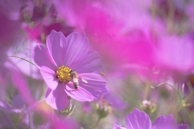 soku_21566.jpg :: コスモス 植物 自然 動物 虫 昆虫 蜂 ハチ