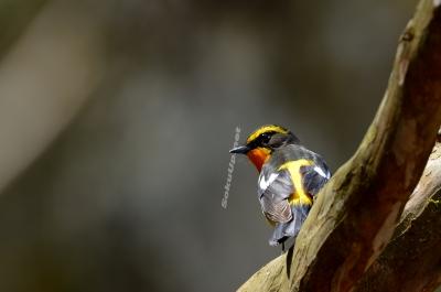 soku_21632.jpg :: 動物 鳥 野山の鳥 キビタキ