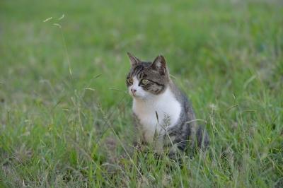 soku_21839.jpg :: 動物 哺乳類 猫 ネコ