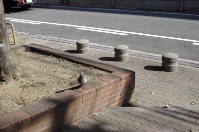 soku_21871.jpg :: 動物 鳥 鳩 ハト