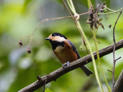 soku_21891.jpg :: 動物 鳥 野山の鳥 ヤマガラ