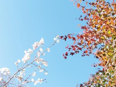 soku_22177.jpg :: PowerShotS95 風景 自然 コンデジ埼玉 lock 紅葉 黄色い紅葉 赤い紅葉 城峯公園 冬桜 寒桜