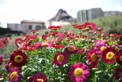 soku_22332.jpg :: 遊園地 テーマパーク ディズニーランド 植物 花 赤い花