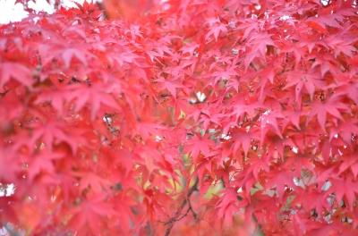 soku_22382.jpg :: 風景 自然 紅葉 赤い紅葉 楓