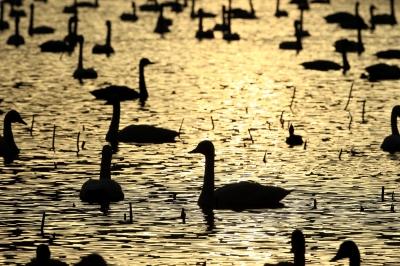 soku_22409.jpg :: 動物 鳥 白鳥 ハクチョウ by Niigata