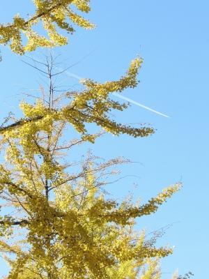soku_22423.jpg :: PowerShotS95 風景 自然 コンデジ埼玉 lock イチョウ 紅葉 黄色い紅葉 空 飛行機雲