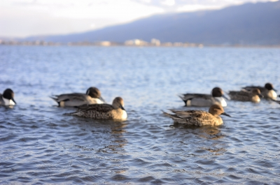 soku_22786.jpg :: 風景 自然 水面 動物 鳥 鴨 カモ