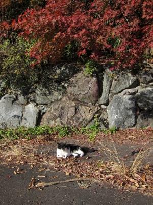 soku_23009.jpg :: PowerShotS95 コンデジ埼玉 lock 風景 自然 紅葉 赤い紅葉 動物 哺乳類 猫 ネコ