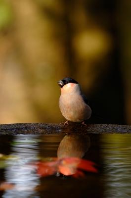 soku_23034.jpg :: 動物 鳥 野山の鳥 ウソ
