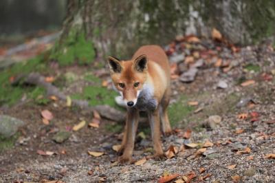 soku_23041.jpg :: 動物 哺乳類 狐 キツネ