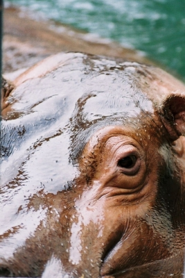 soku_23066.jpg :: 動物 哺乳類 カバ