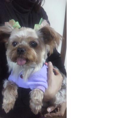 soku_23115.jpg :: 動物 ペット 犬 ヨークシャテリア