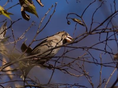 soku_23119.jpg :: 動物 鳥 野山の鳥 シメ