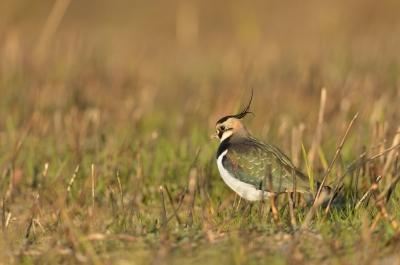 soku_23125.jpg :: 動物 鳥 野山の鳥 タゲリ