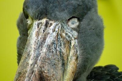 soku_23145.jpg :: 動物 鳥 ハシビロコウ のいち動物公園