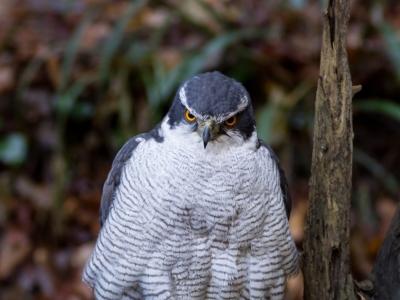 soku_23278.jpg :: 動物 鳥 猛禽類 大鷹 オオタカ